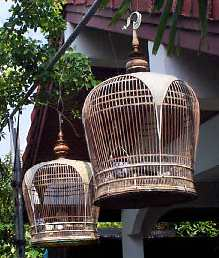 Asean Cooing Dove Competition