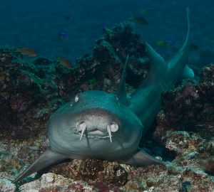 bamboo shark / Photo: flickr.com