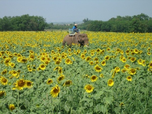 blooming sunflowers at Lopburi