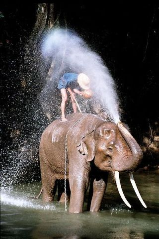 Thailand elephants